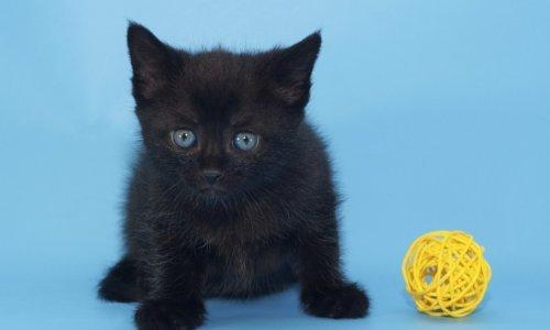 pretraga crnih maca