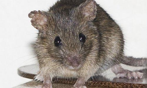 """Jesmo li pred novom epidemijom """"mišje groznice"""" na Medvednici? - tportal"""