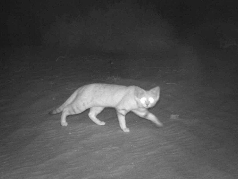 video azijski mačak