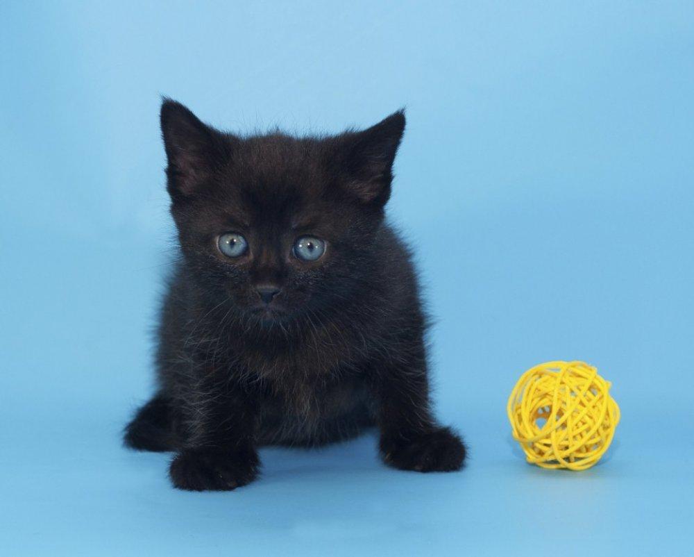 spava crna maca