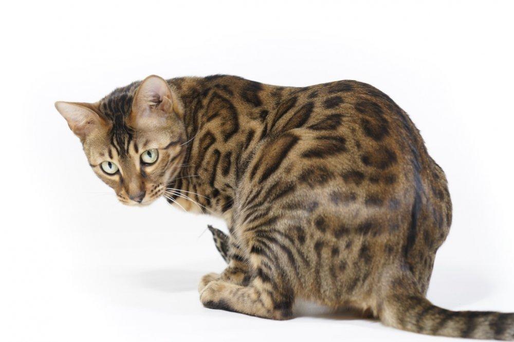Velika Harry maca