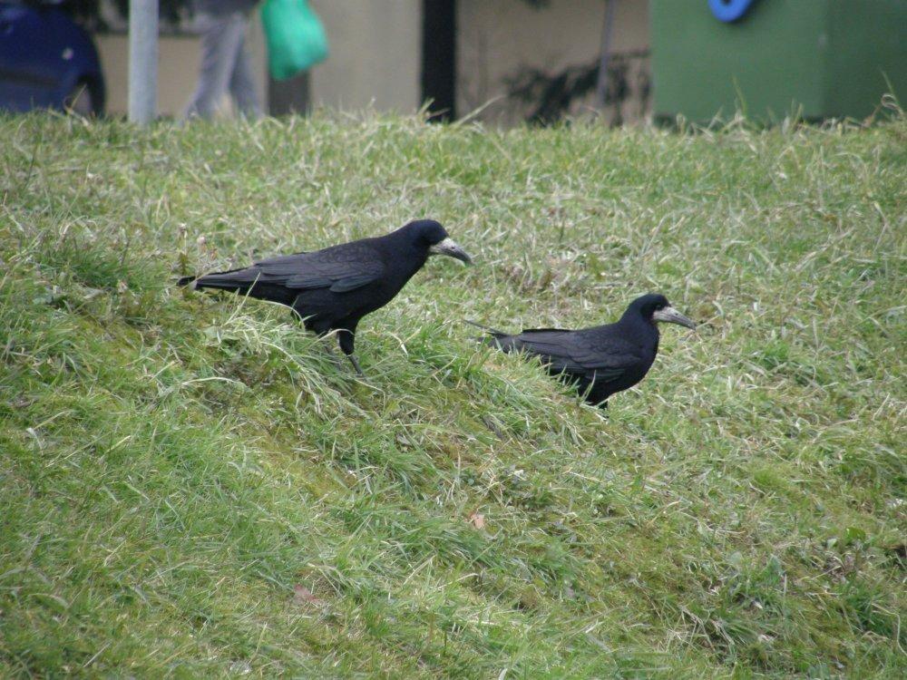 Najinteligentnije ptice - gavrani - tportal