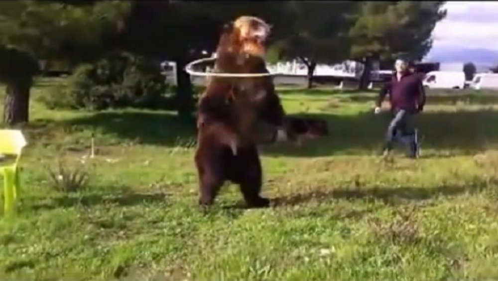 pleše medvjedi seksa