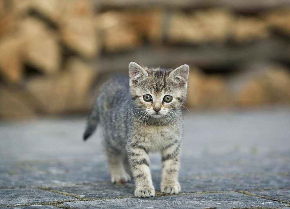 velika mačka maca velika phat maca