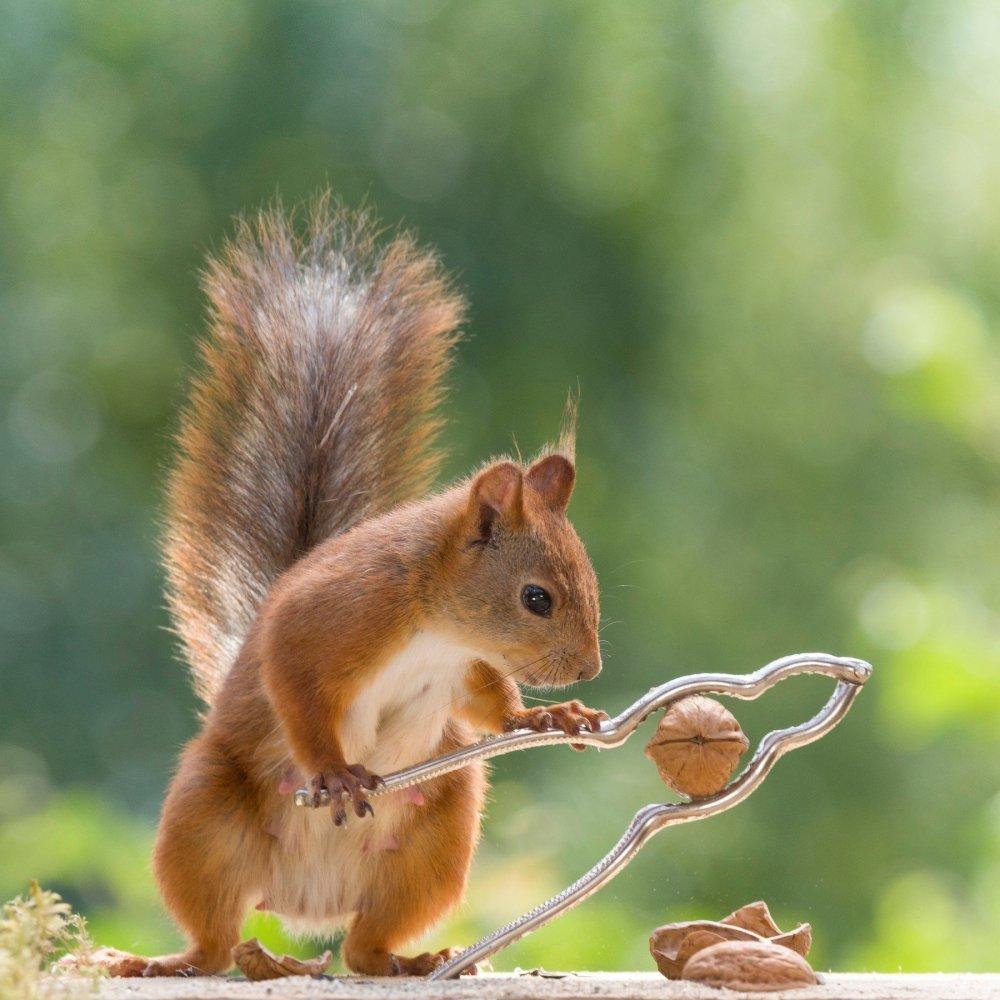vjeverica slika