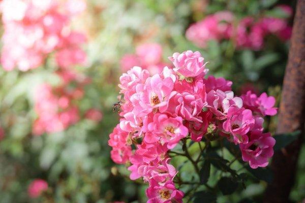 Kako bi se riješili lisnih ušiju, posegnite za prirodnim preparatima kako ne biste naštetili cvijeću i okolišu