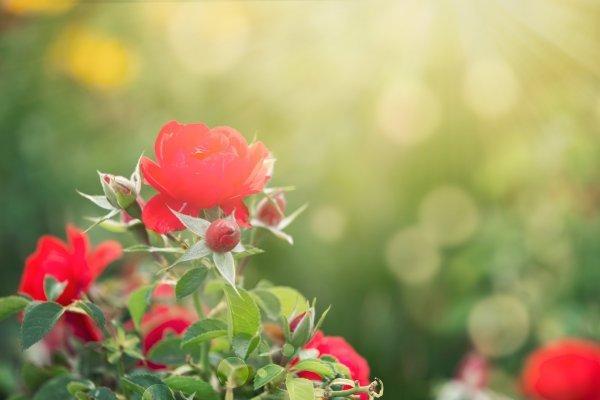 Na samom početku, kada se nisu jako raširile, lisne uši moguće je ručno maknuti s ruža